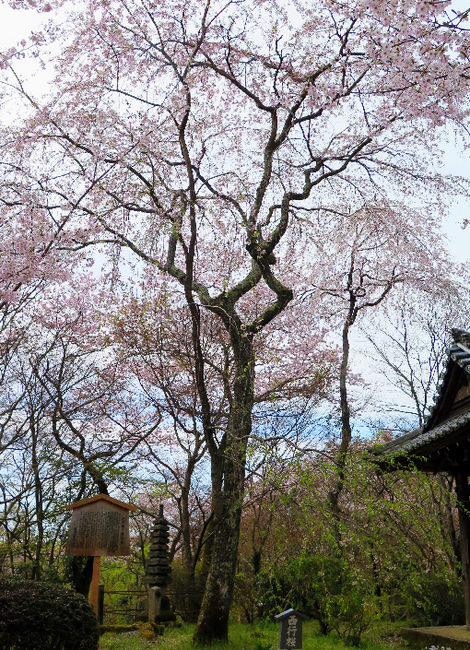 IMG_6903西行桜-s.png