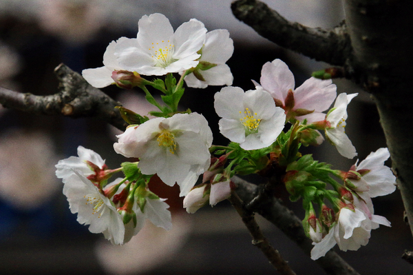 IMG_8116墨染桜ーs.png