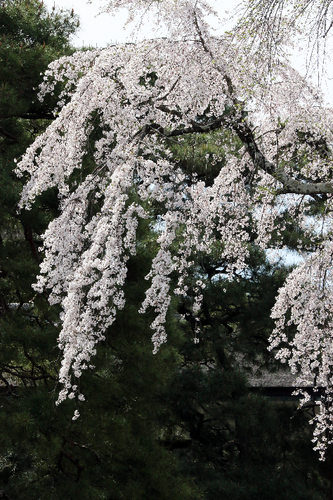 IMG_8551御所の枝垂れ桜-s.png
